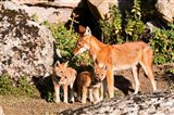 Ethiopian Wolf with cubs, Bale Mountains Park, Ethiopia Art Print