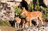 Ethiopian Wolf with cubs, Bale Mountains Park, Ethiopia Art Print