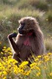 Gelada Baboon primate, Ethiopia Art Print