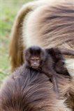 Baby Gelada Baboon primate, Ethiopia Art Print