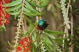 Eastern Double-Collared Sunbird, Nyeri, Kenya Art Print