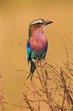 Lilac-breasted Roller, Masai Mara Game Reserve, Kenya Art Print