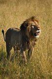 Black maned male Lion, Panthera leo, Masai Mara, Kenya Art Print