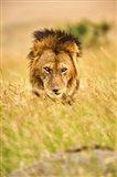 Adult male lion, Panthera leo, Masai Mara, Kenya Art Print