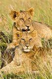 Group of lion cubs, Panthera leo, Masai Mara, Kenya Art Print