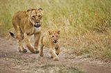 Lioness with her cub in tire tracks, Masai Mara, Kenya Art Print
