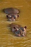 Hippopotamus in river, Masai Mara, Kenya Art Print