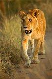 Female Lion Walking At Sunset, Masai Mara, Kenya Art Print