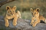 Lion Cubs on Log, Masai Mara, Kenya Art Print
