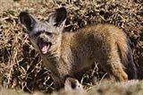 Young Bat-eared Foxes, Masai Mara, Kenya Art Print