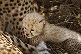 Cheetah cub, Acinonyx jubatus, Masai Mara, Kenya Art Print