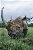 Black Rhinoceros, Kenya Art Print