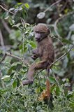 Baby Olive Baboon riding on mother's back, Kenya Art Print