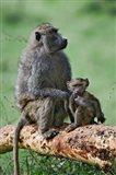 Olive Baboon, baby, Lake Nakuru National Park, Kenya Art Print
