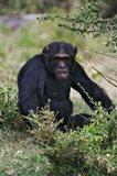 Chimpanzee, Sweetwater Chimpanzee Sanctuary, Kenya Art Print