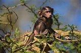 Baby Olive Baboon, Lake Nakuru National Park, Kenya Art Print