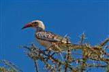 Red-billed Hornbill, Samburu Game Reserve, Kenya Art Print