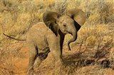 Baby African Elephant, Samburu Game Reserve, Kenya Art Print