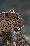 Leopard, Panthera pardus, Samburu Game Reserve, Kenya Art Print