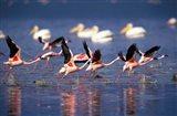 Lesser Flamingos running on water, Lake Nakuru National Park, Kenya Art Print