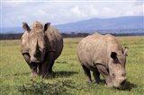 White Rhinoceros grazing, Lake Nakuru National Park, Kenya Art Print