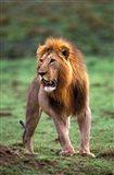 Adult male lion, Masai Mara Game Reserve, Kenya Art Print
