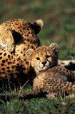 Kenya, Masai Mara Game Reserve. Cheetah cub Art Print