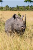 Kenya, Maasai Mara National Reserve, Black Rhinoceros Art Print