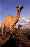 Dromedary Camel, Mother and Baby, Nanyuki, Kenya Art Print