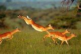 Impala, Aepyceros melampus, Mara River, Kenya Art Print