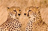 Kenya, Masai Mara National Reserve. Two cheetahs Art Print