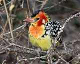 Kenya. Red and yellow barbet bird on tree limb Art Print
