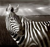 Black & White of Zebra and plain, Kenya Art Print