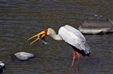 Kenya, Masai Mara. Yellow-billed stork, fish prey Art Print