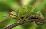 Close-up of Jackson's Chameleon on limb, Kenya Art Print