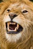 Africa, Kenya, Masai Mara, male lion bearing teeth. Art Print