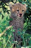 Cheetah Cub, Masai Mara Game Reserve, Kenya Art Print