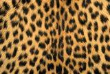 Leopard, Masai Mara Reserve, Kenya Art Print