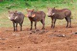 Warthog, Aberdare National Park, Kenya Art Print