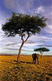 Solitary Elephant Wanders, Maasai Mara, Kenya Art Print