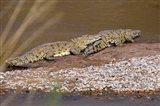 Nile Crocodiles on the banks of the Mara River, Maasai Mara, Kenya, Africa Art Print