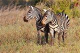 Pair of Zebras in Meru National Park, Meru, Kenya Art Print