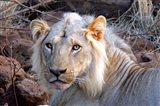 Face of feeding lion, Meru, Kenya Art Print