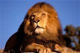 Lion, Masai Mara, Kenya Art Print