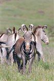 Grevy's Zebra, Kenya Art Print