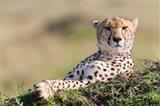 Cheetah, Kenya Art Print