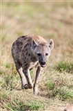 Spotted Hyena, Crocuta crocuta, in the Maasai Mara, Kenya, Africa. Art Print