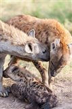 Spotted Hyena, Maasai Mara, Kenya Art Print