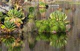 Plants of the water's edge, Mount Kenya National Park, Kenya Art Print