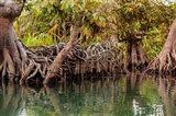 Africa, Liberia, Monrovia. View of mangroves on the Du River. Art Print